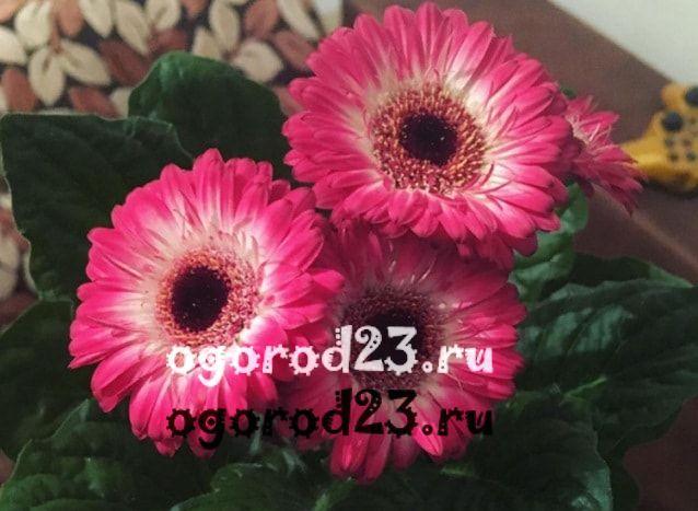 цветы похожие на ромашки 6