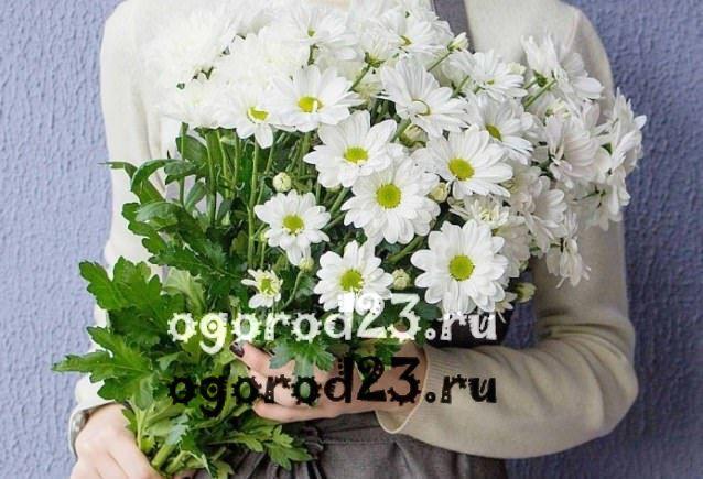 цветы похожие на ромашки 22