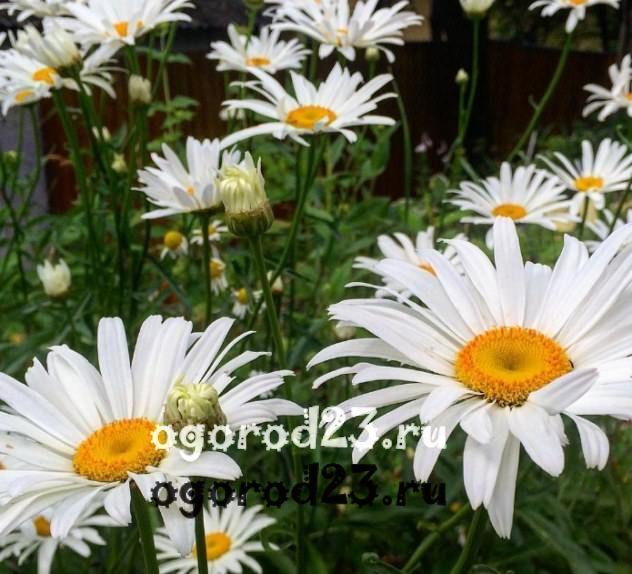 цветы похожие на ромашки 9