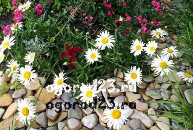 цветы похожие на ромашки 10