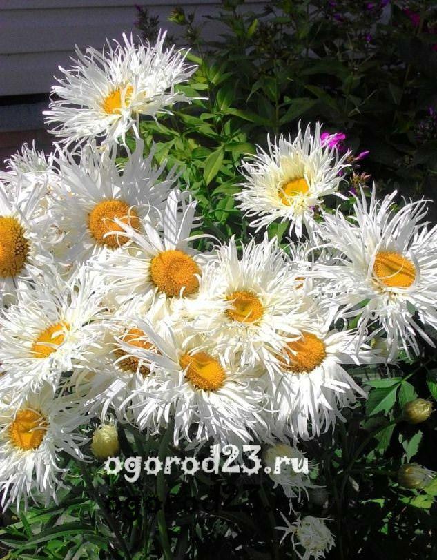 цветы похожие на ромашки 8