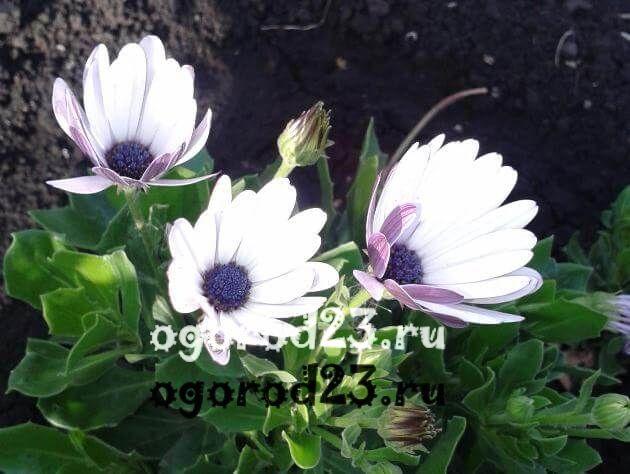 цветы похожие на ромашки 40