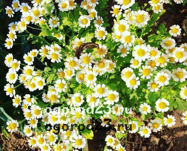 цветы похожие на ромашки 41