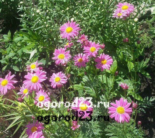 цветы похожие на ромашки 30