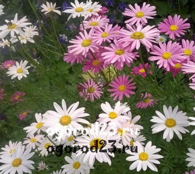 цветы похожие на ромашки 29