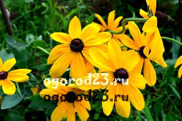 цветы похожие на ромашки 14