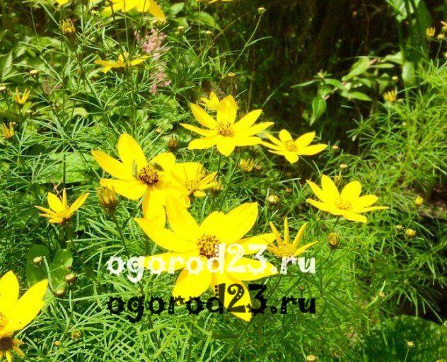 цветы похожие на ромашки 33