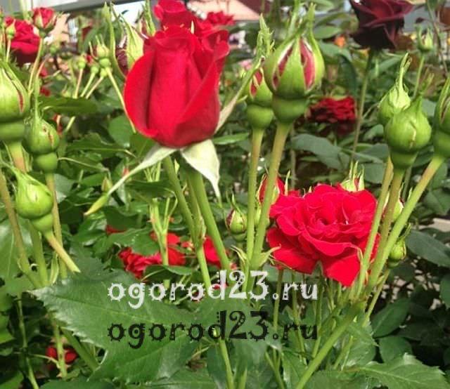 Розы флорибунда что это такое 23