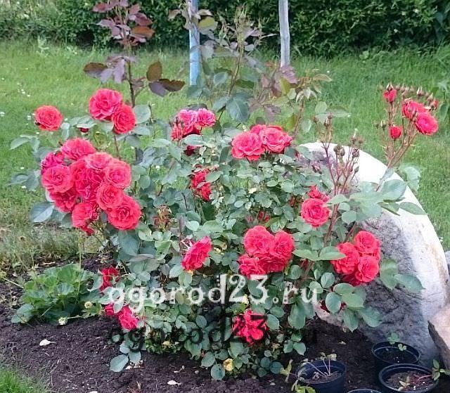 Розы флорибунда что это такое 22