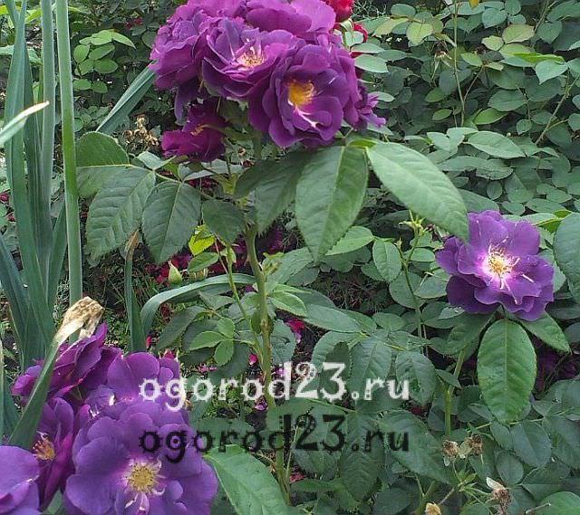 Розы флорибунда что это такое 19