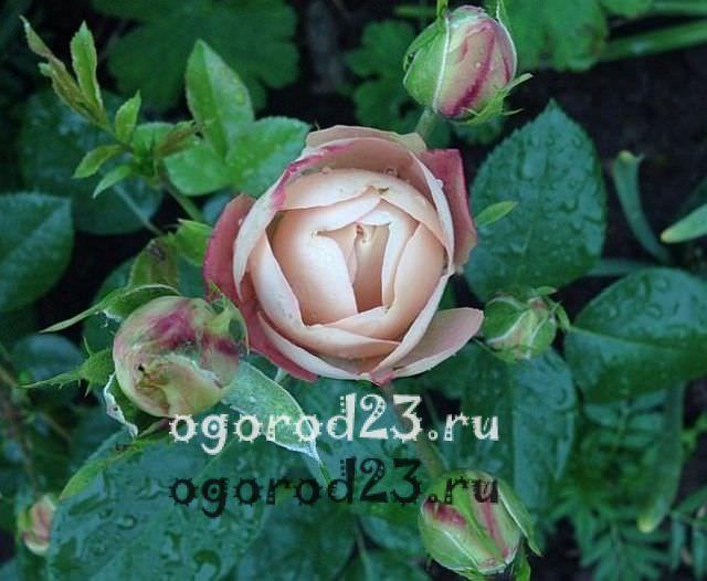Розы флорибунда что это такое 6