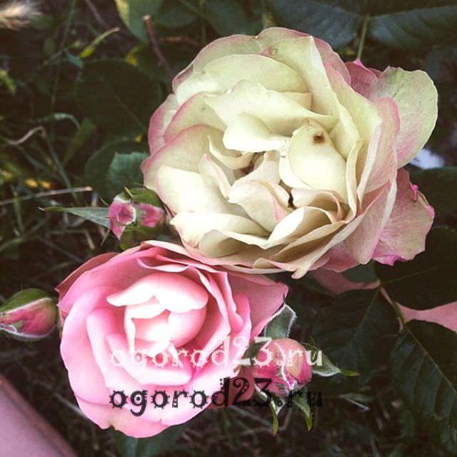 Розы флорибунда что это такое 7