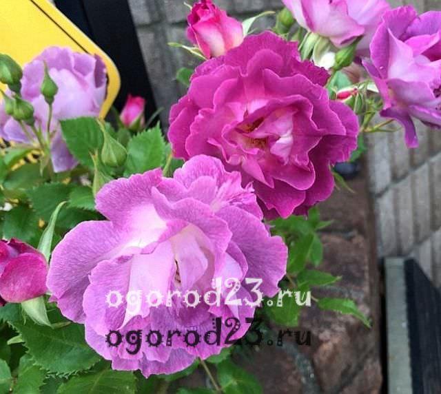 Розы флорибунда что это такое 13