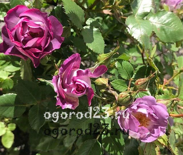 Розы флорибунда что это такое 15