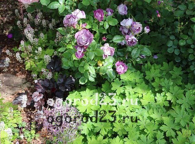 Розы флорибунда что это такое 14