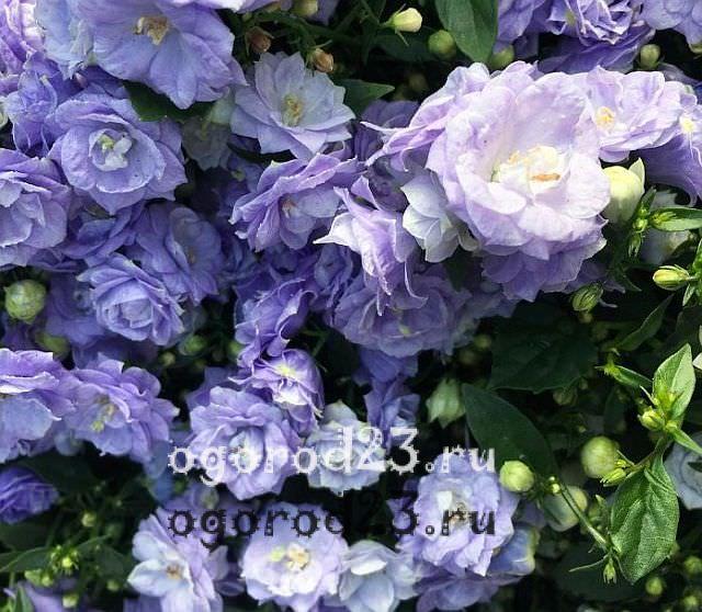 Розы флорибунда что это такое 18