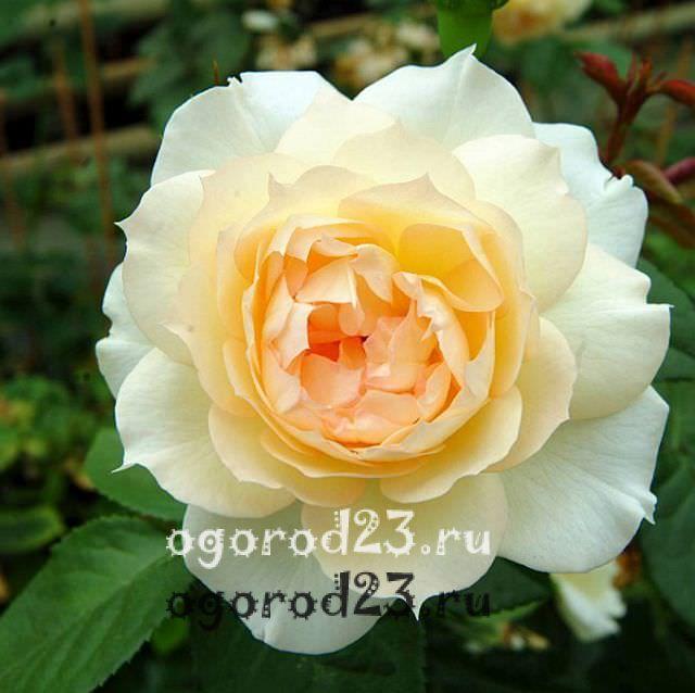 Розы флорибунда что это такое 27