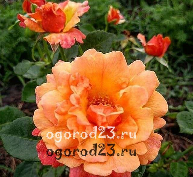 Розы флорибунда что это такое 16