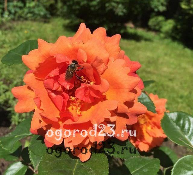 Розы флорибунда что это такое 17