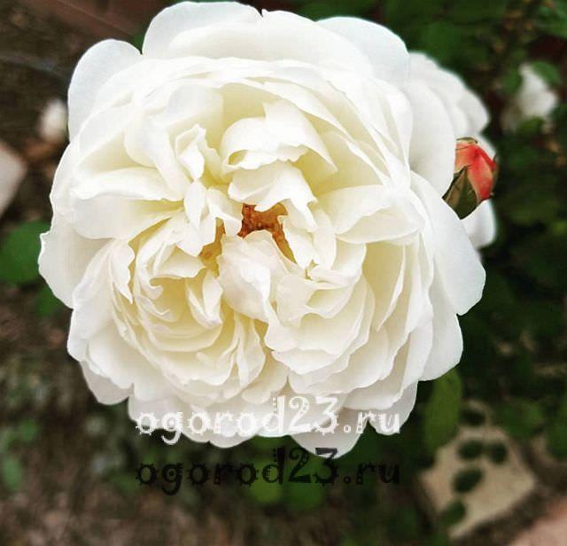 Розы флорибунда что это такое 10