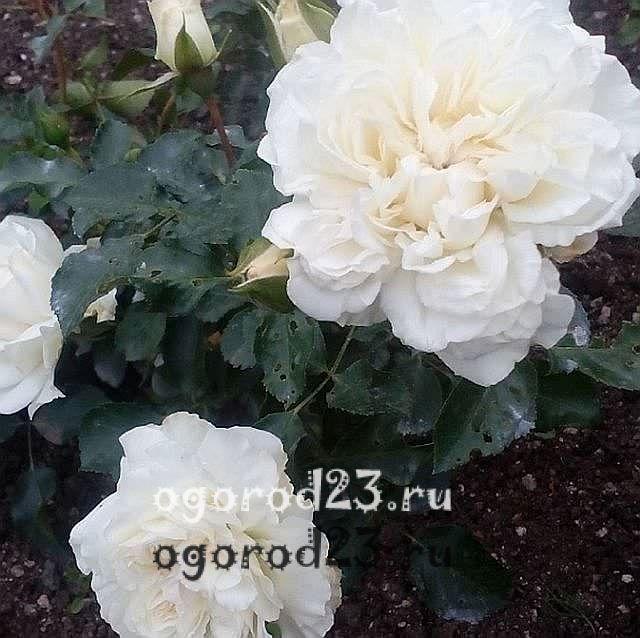 Розы флорибунда что это такое 9