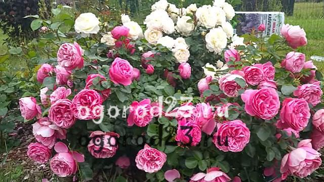 розы флорибунда сорта фото описание 5