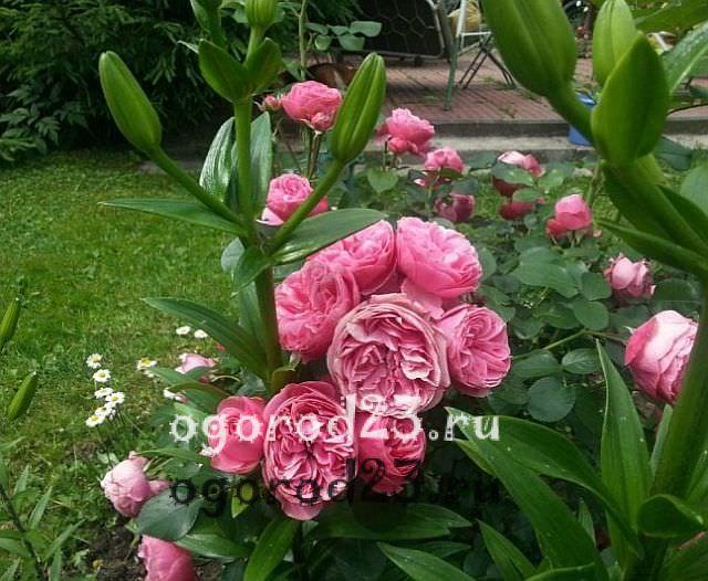 розы флорибунда сорта фото описание 4