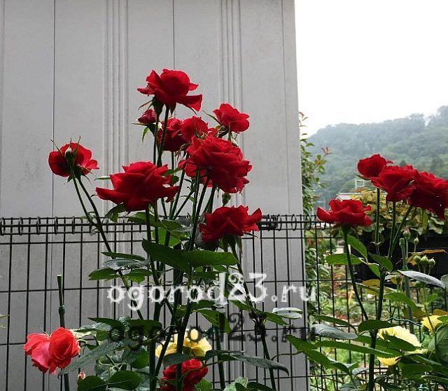 Розы флорибунда что это такое 11