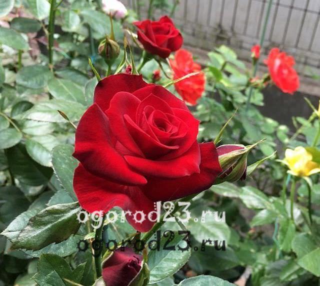 Розы флорибунда что это такое 12