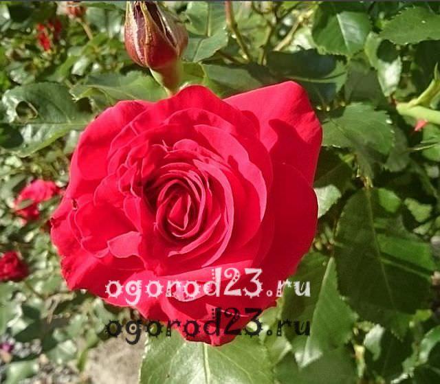 Розы флорибунда что это такое 24