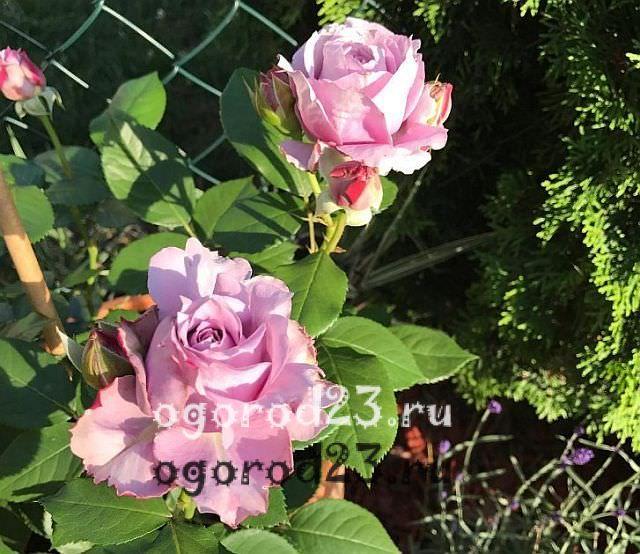 Розы флорибунда что это такое 26