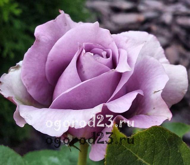 Розы флорибунда что это такое 25