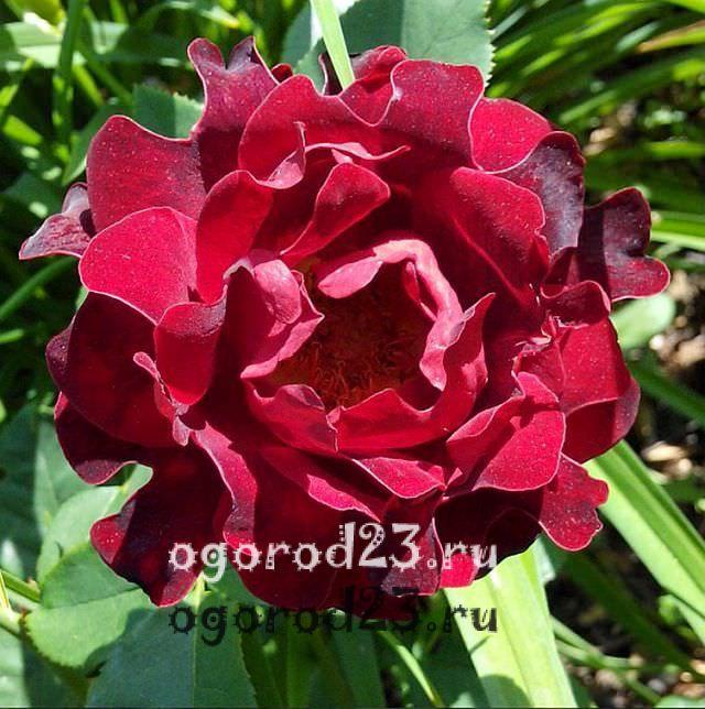 Розы флорибунда что это такое 8