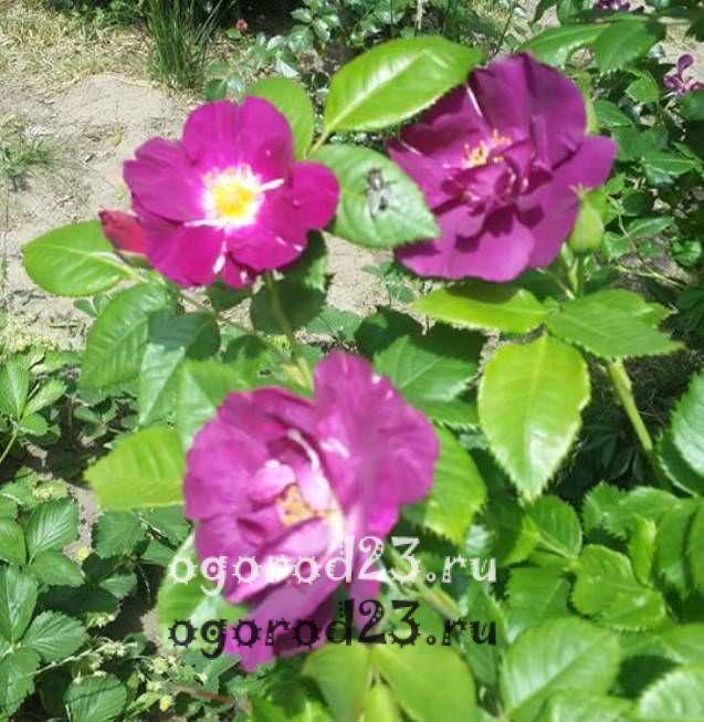 Розы флорибунда что это такое 20