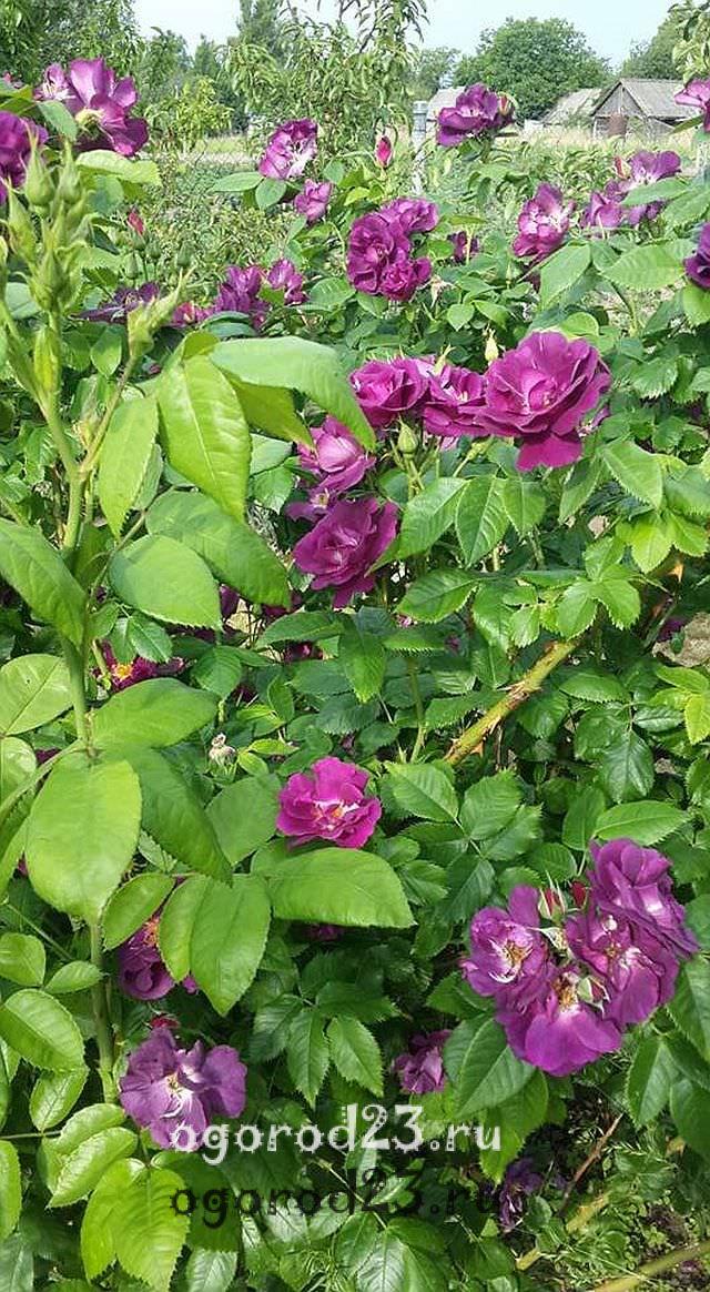 Розы флорибунда что это такое 21