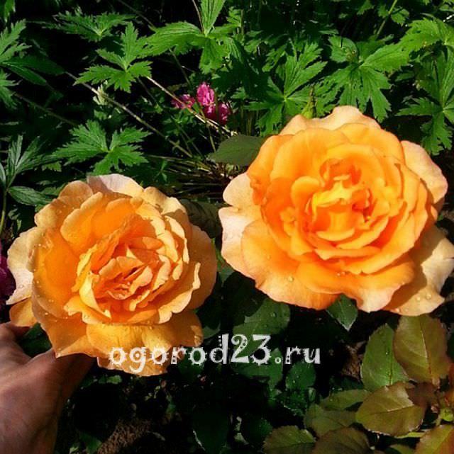 Розы флорибунда что это такое 31