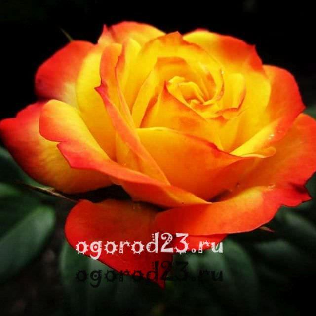 Розы флорибунда что это такое 32