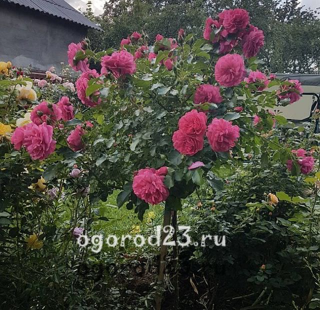 розы флорибунда сорта фото описание 2