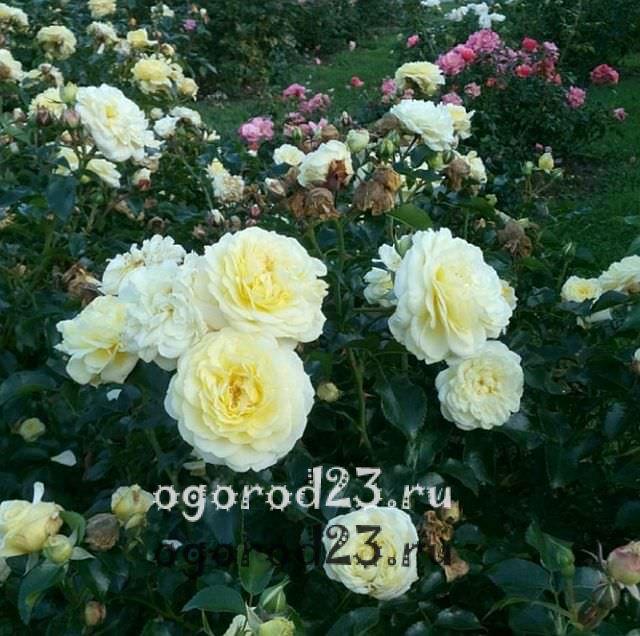 Розы флорибунда что это такое 33