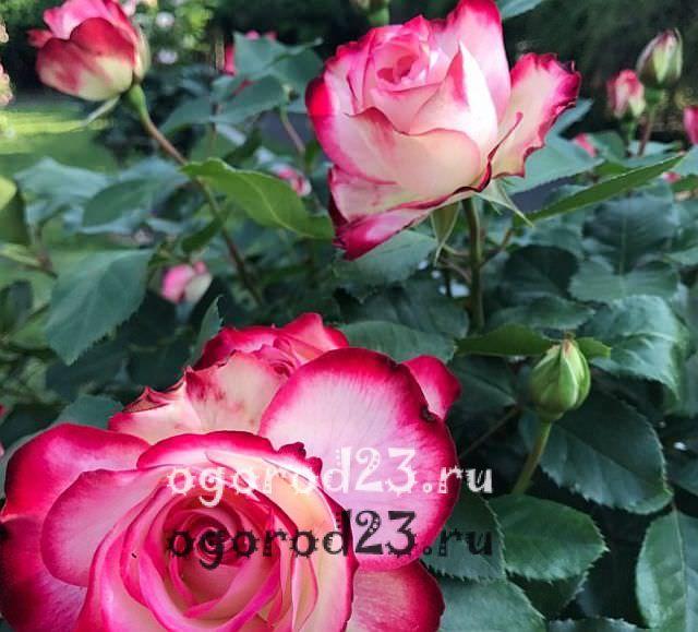 Розы флорибунда что это такое 28
