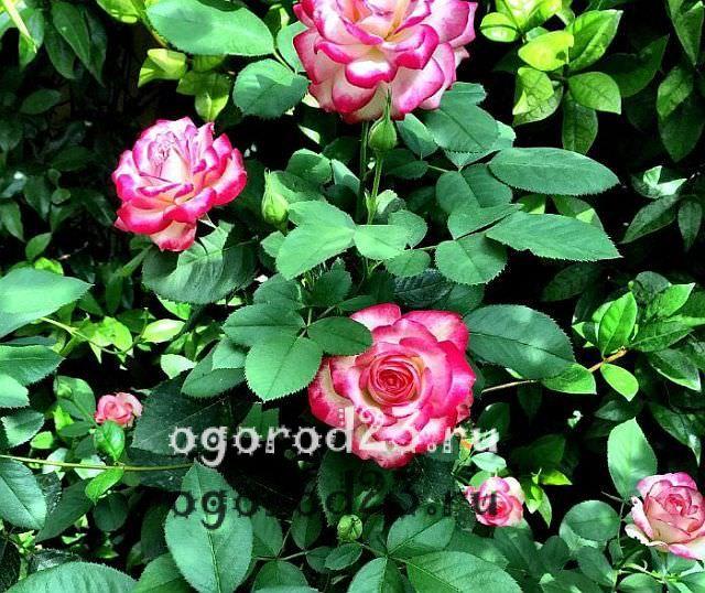 Розы флорибунда что это такое 30