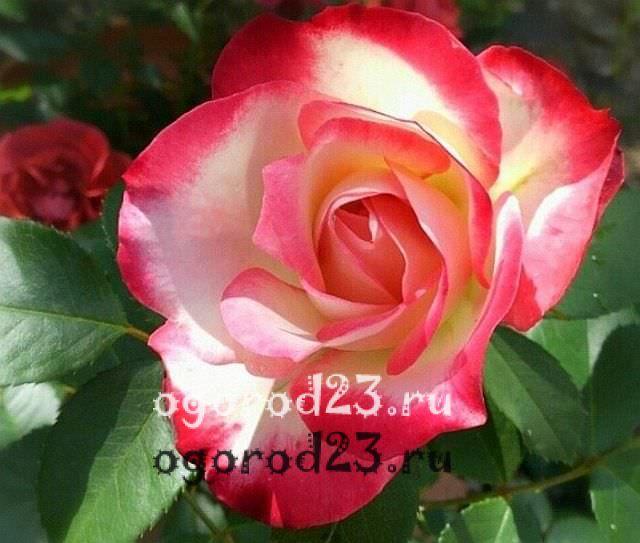Розы флорибунда что это такое 29