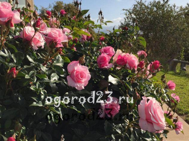 розы флорибунда сорта фото описание 1