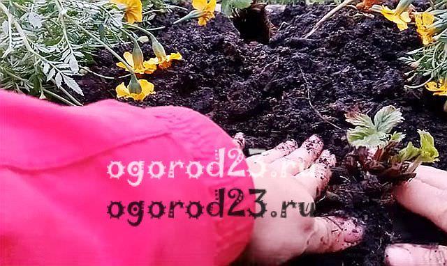 Посадка клубники осенью 2