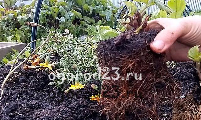 Какие удобрения вносить осенью при посадке клубники осенью