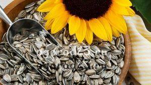 польза и вред семечек подсолнечника 100