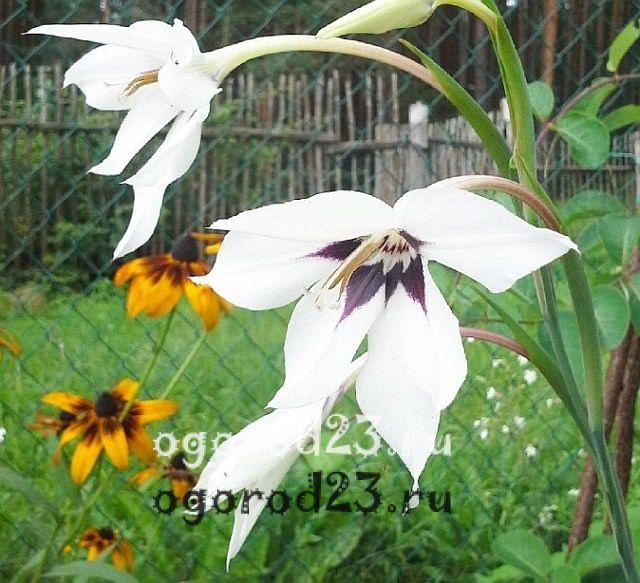 ароматные цветы для сада 38