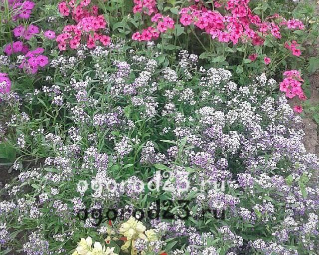 ароматные цветы для сада 1