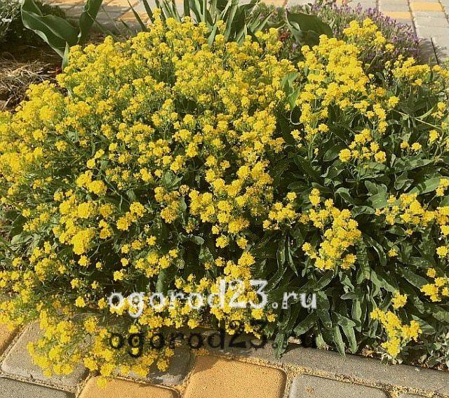 ароматные цветы для сада 21