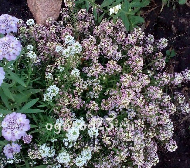 ароматные цветы для сада 20